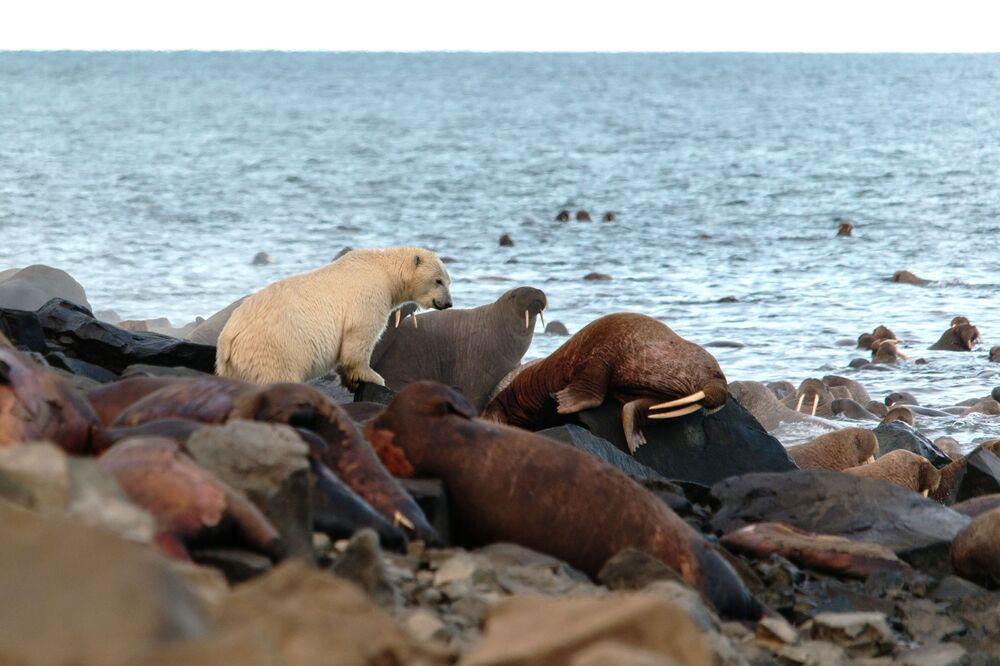 Orso polare e la colonia di trichechi a Capo Kozhevnikov