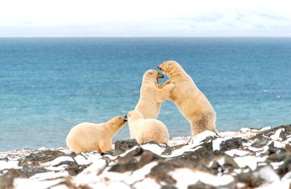 Gli orsi polari a Capo Kozhevnikov - Sputnik Italia
