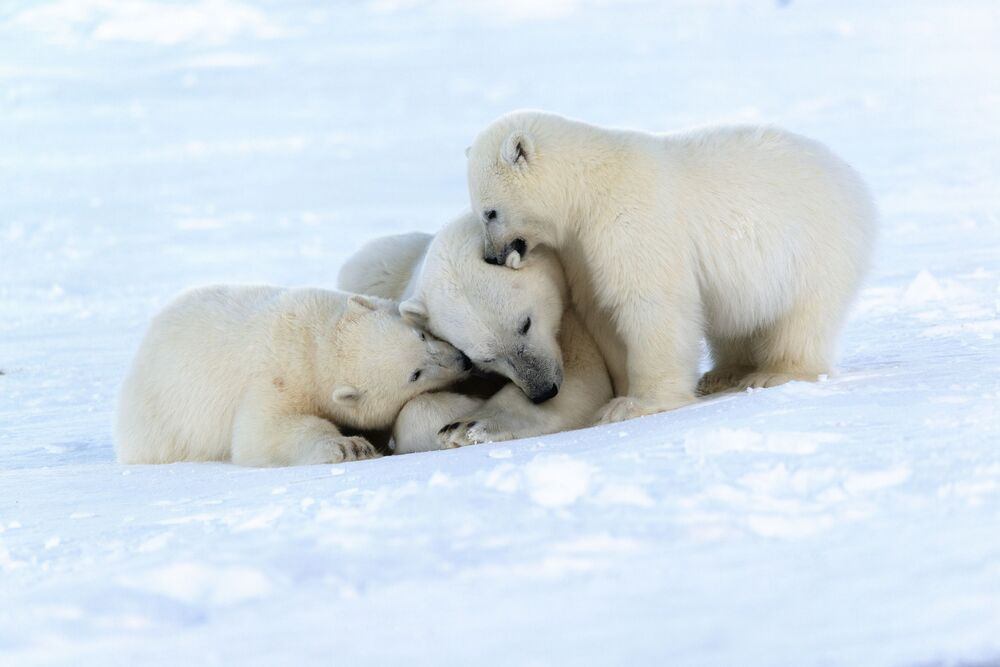 Orso polare con cuccioli sulla costa del mare di Chukci