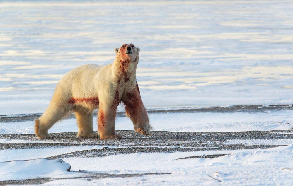 Orso polare sulla costa del Mare della Siberia orientale