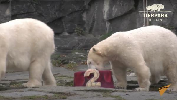 Germania: orso polare Hertha riceve per il suo compleanno un regalo speciale dal Tierpark Zoo - Sputnik Italia