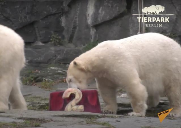 Germania: orso polare Hertha riceve per il suo compleanno un regalo speciale dal Tierpark Zoo