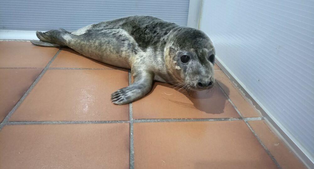 I cuccioli di leone marino salvati in Galizia
