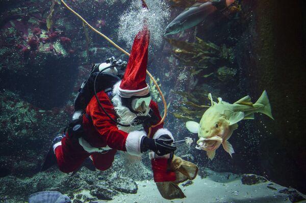 Un subacqueo vestito da Babbo Natale in un acquario in Germania - Sputnik Italia