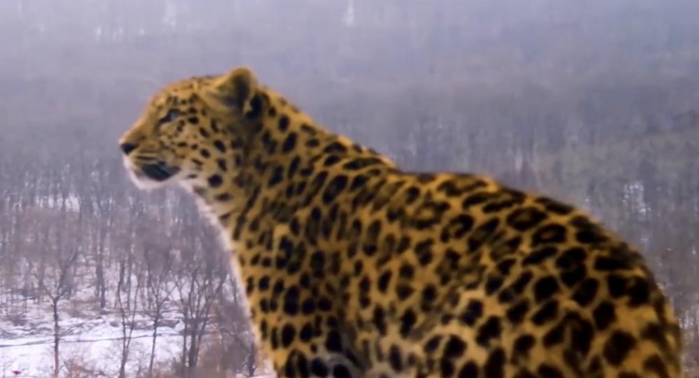 Leopardo lascia un messaggio amoroso alla sua compagna