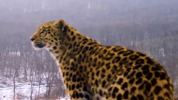 Leopardo lascia un messaggio amoroso alla sua compagna - Sputnik Italia
