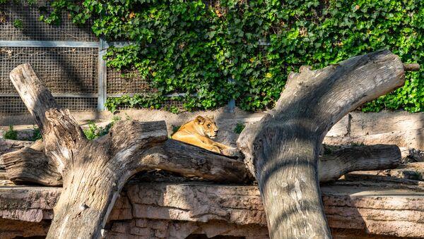 Leone nel giardino zoologico di Barcellona  - Sputnik Italia