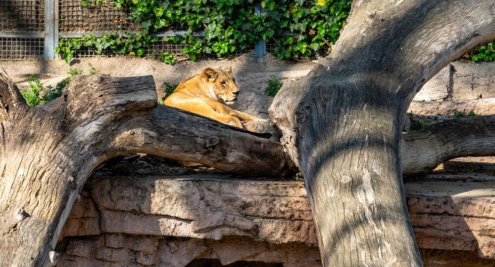 Leone nel giardino zoologico di Barcellona