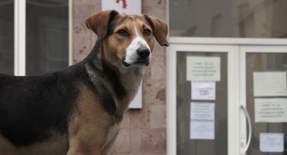 Hachiko di Karabakh: cane aspetta il suo padrone vicino all'ospedale da 20 giorni