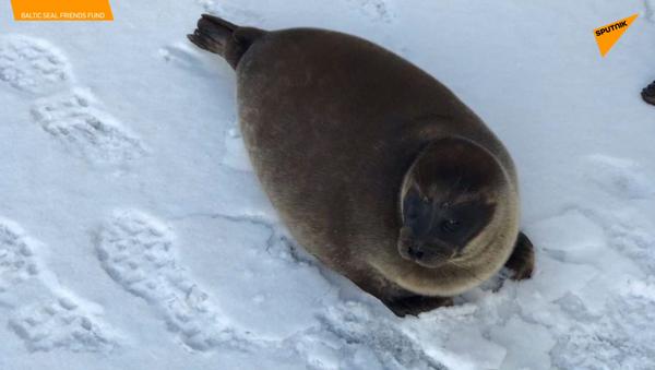Due cuccioli di foca si godono la prima neve - Sputnik Italia