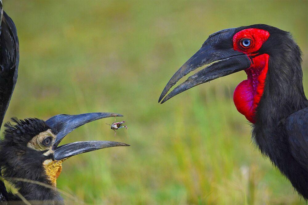 La foto Breed The Red del fotografo indiano Varun Thakkar, che è stata stimata nella categoria Comportamento degli animali del concorso Nature inFocus Photo Awards 2020.
