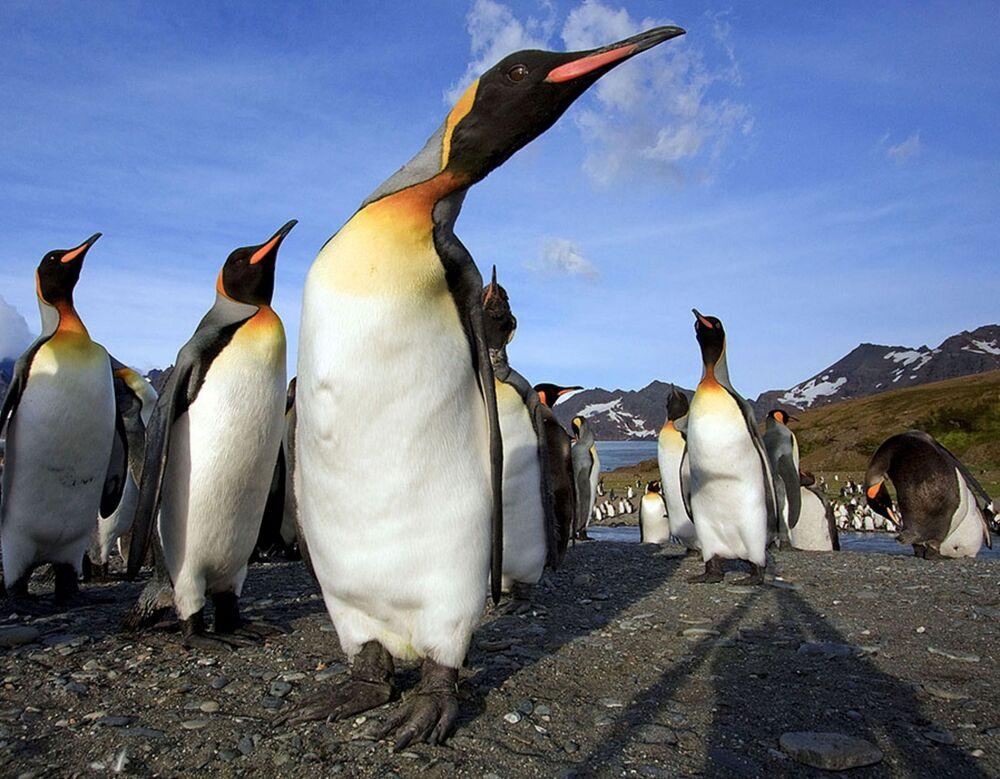 I pinguini sull'isola della Georgia del Sud, il 11 Dicembre 2020.