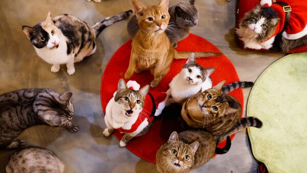 I gatti nel neko café Catgarden a Seoul, Corea del Sud.  - Sputnik Italia