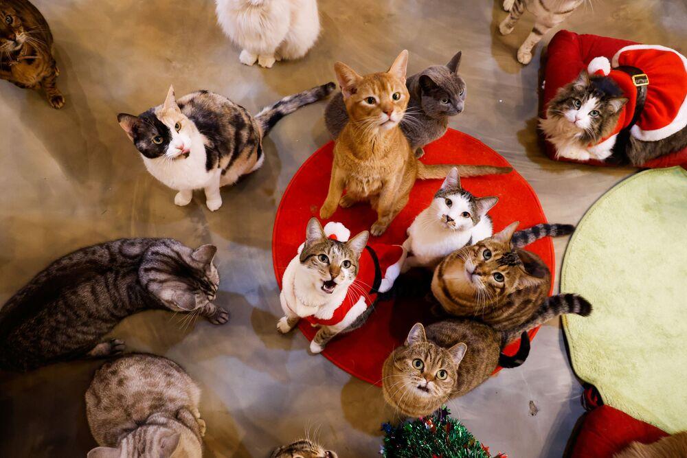 I gatti nel neko café Catgarden a Seoul, Corea del Sud.