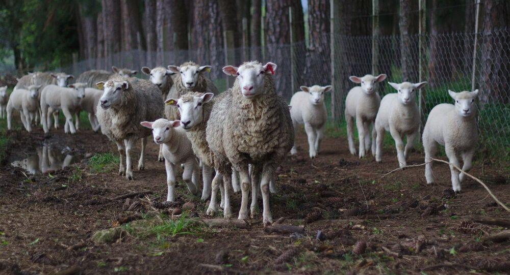 Gregge di pecore selvaggio