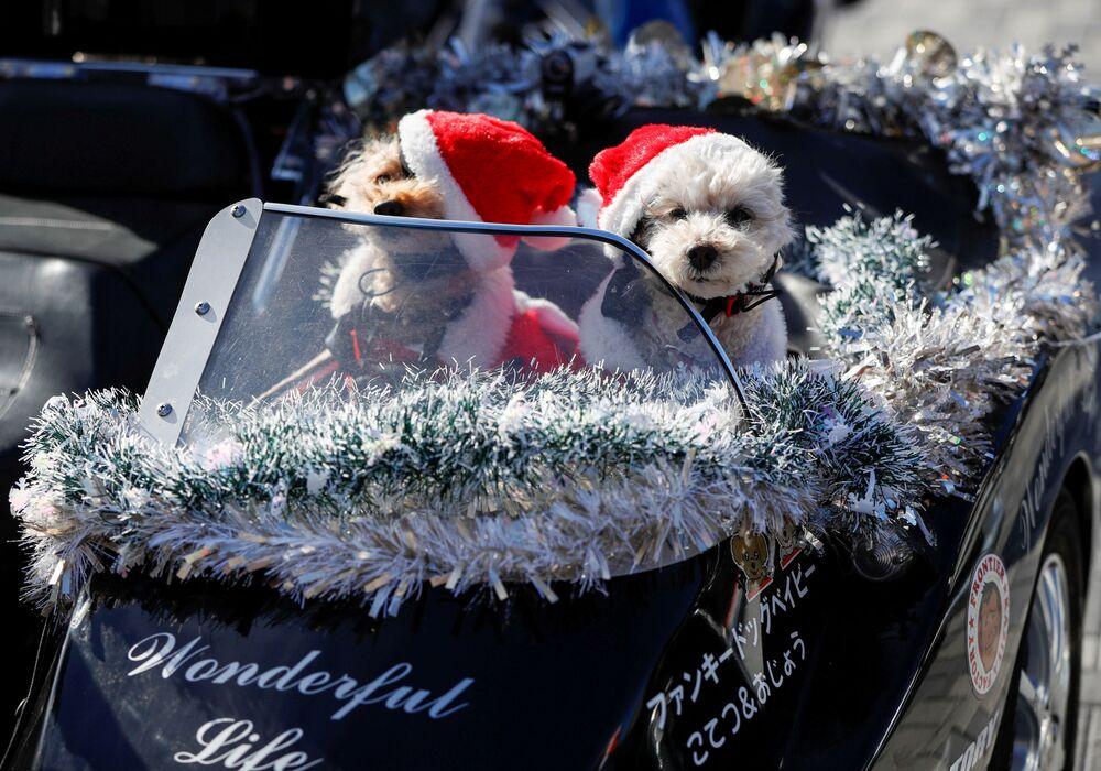 I cani vestiti da Babbo Natale sul sedile del passeggero di una moto Harley Davidson durante la parata del Natale a Tokyo, Giappone.