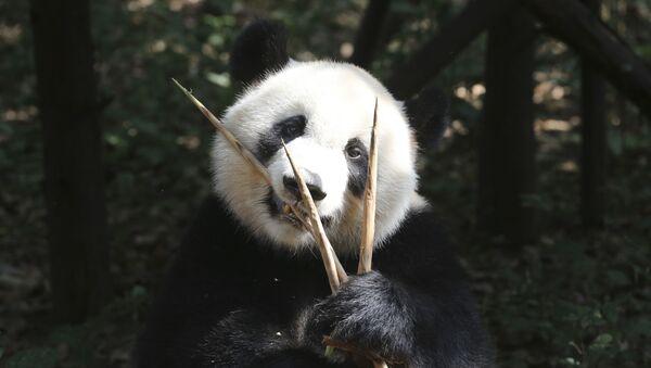 Orso Panda - Sputnik Italia