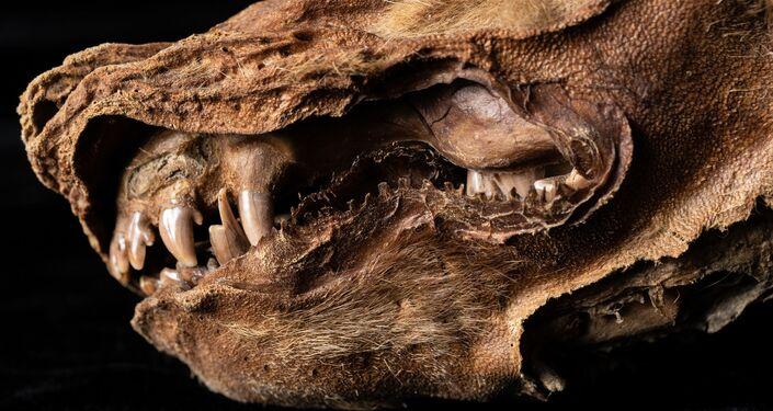 Zhùr, el lobo momificado hallado en Yukón