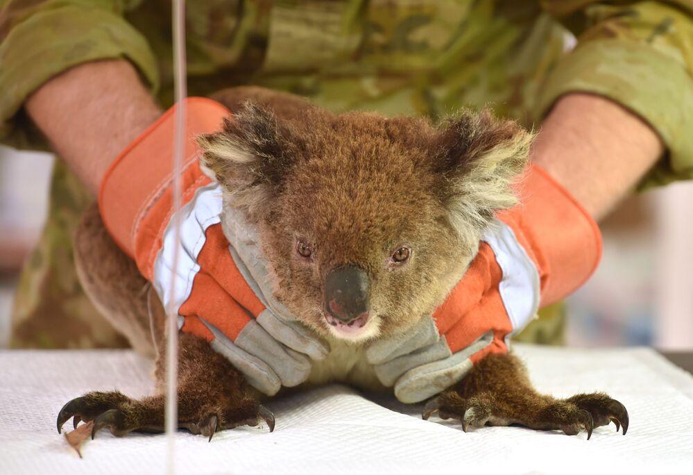 Un koala ferito in un incendio in Australia in un ospedale da campo improvvisato al Kangaroo Island Wildlife Park