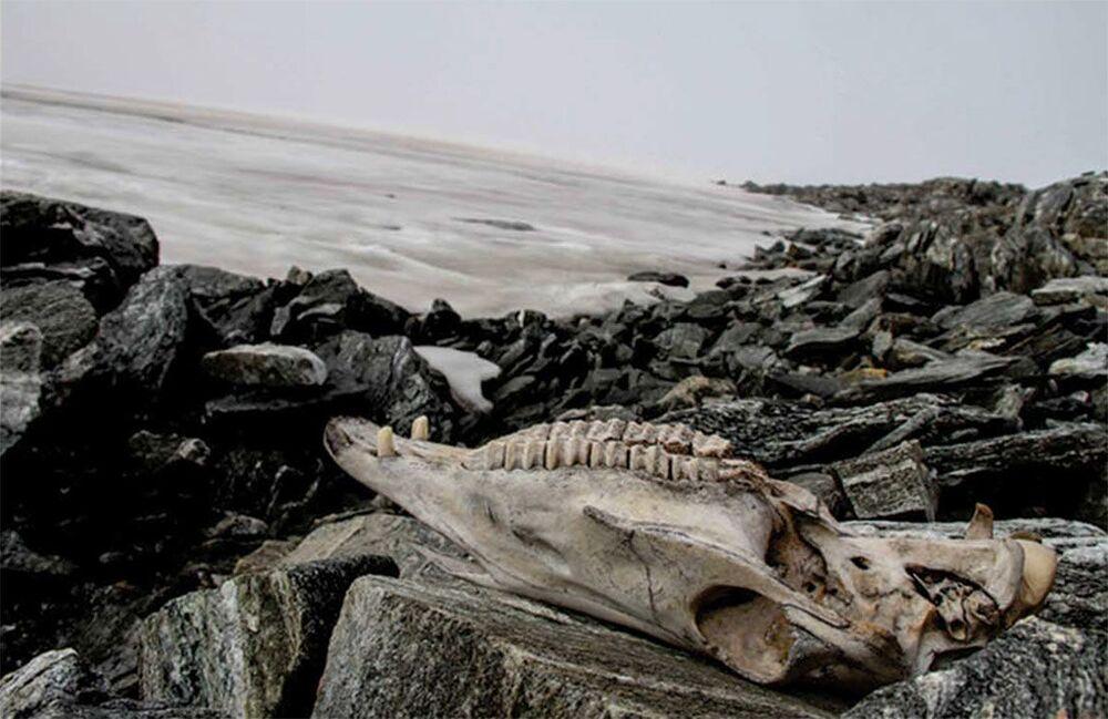 Teschio di cavallo scoperto nel ghiacciaio Lendbreen in Norvegia