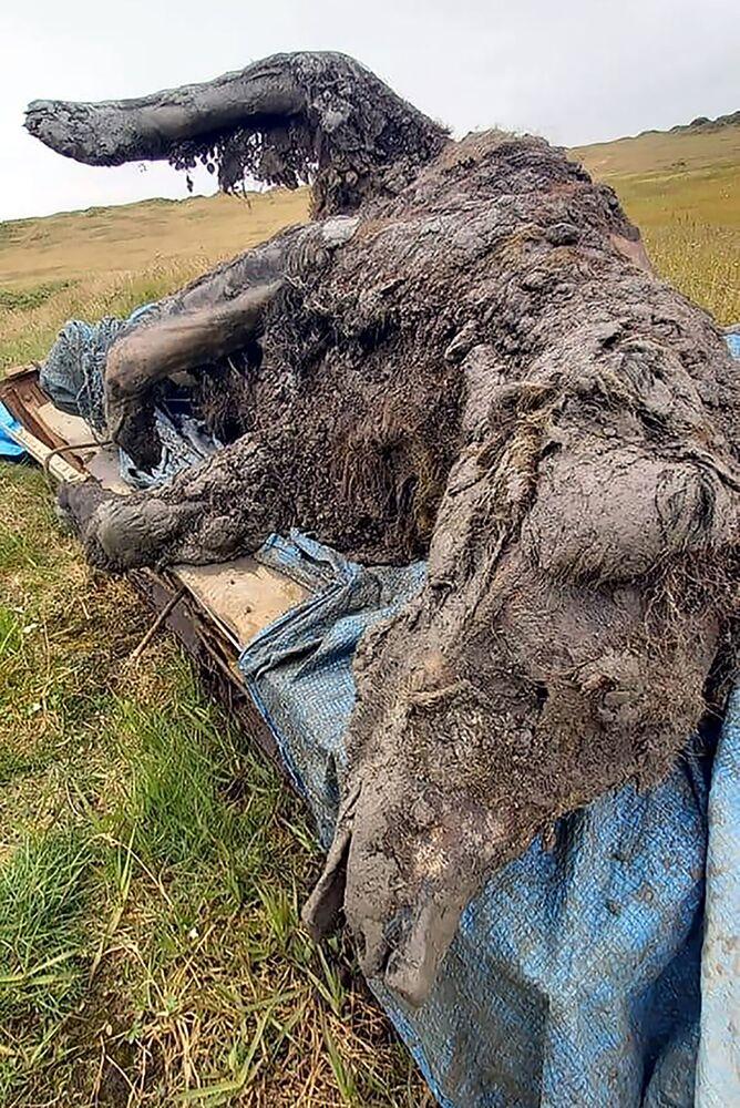 La mummia potrebbe avere, secondo le prime analisi, tra i 22.000 e i 39.500 anni. A realizzare la scoperta un team di ricercatori della North-Eastern Federal University (NEFU) di Yakutsk. L'orso è emerso dal permafrost fuso delle isole di Ljachov.