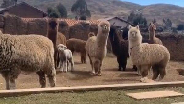 Alpaca video - Sputnik Italia