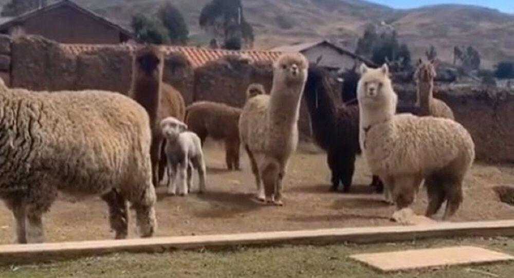 Alpaca video
