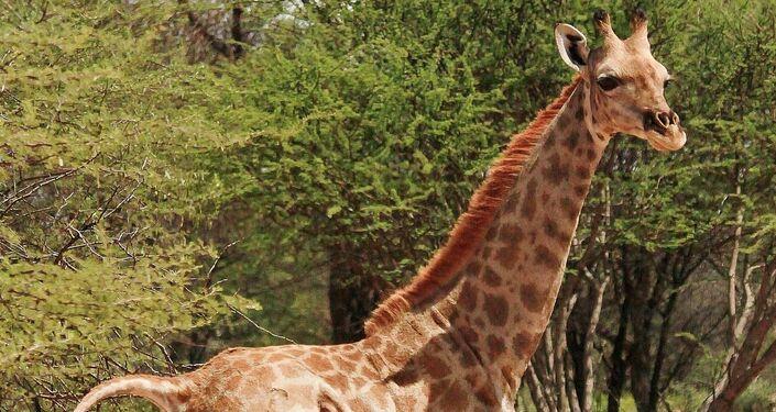 Una di due giraffe nane scoperte in Namibia e Uganda