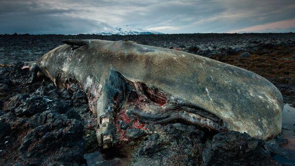 Capodoglio morto in Islanda - Sputnik Italia