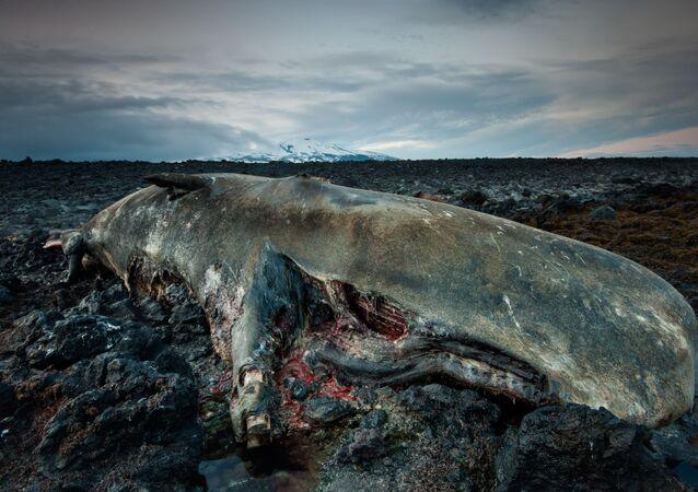 Capodoglio morto in Islanda