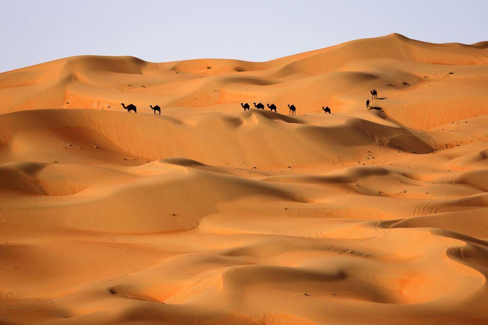 Cammelli nel deserto di Liwa negli Emirati Arabi Uniti