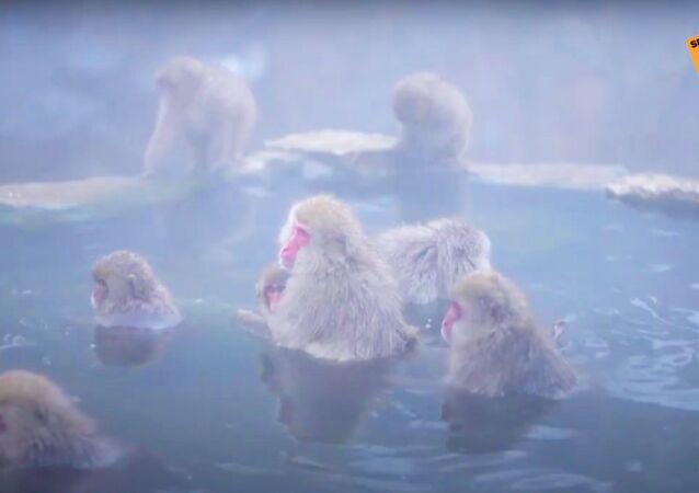 Giappone: SPA per i macachi nelle sorgenti geotermiche della Valle dell'Inferno