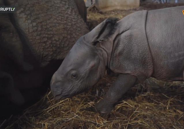 Polonia: allo zoo polacco è nato il primo cucciolo  di rinoceronte indiano dopo 155 anni
