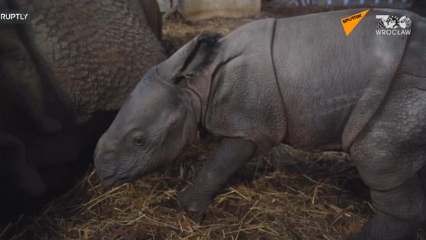 Polonia: allo zoo polacco è nato il primo cucciolo  di rinoceronte indiano dopo 155 anni  - Sputnik Italia