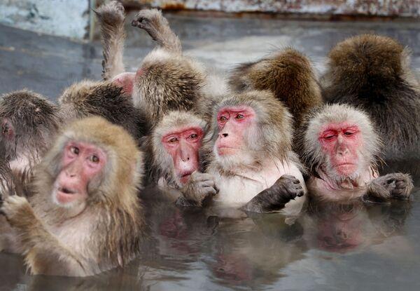 I macachi fanno il bagno nelle sorgenti caldi in un giardino botanico a Hokkaido, Giappone.  - Sputnik Italia