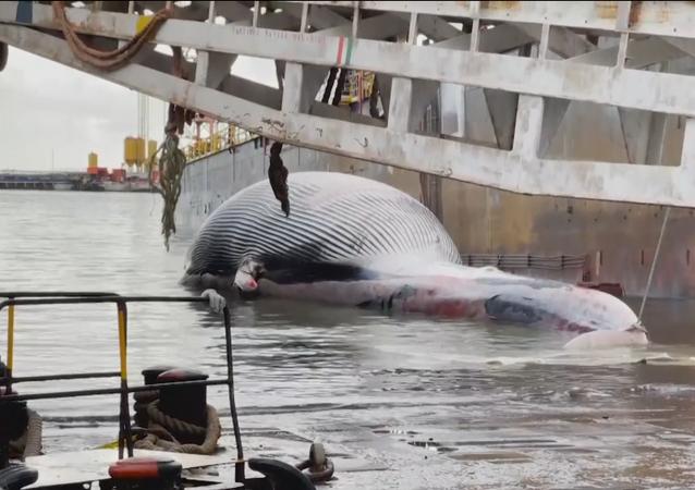 Balena morta a Sorrento, arriva a Napoli la carcassa della balena per esami