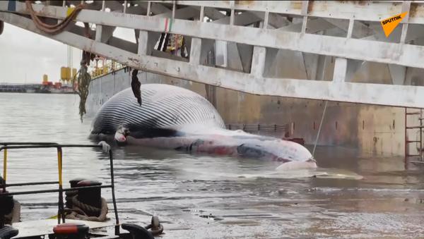Balena morta a Sorrento, arriva a Napoli la carcassa  della balena per esami  - Sputnik Italia