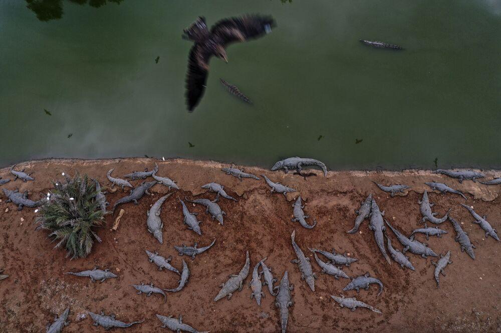 Decine di coccodrilli in una fattoria vicino all'insediamento israeliano di Petzael