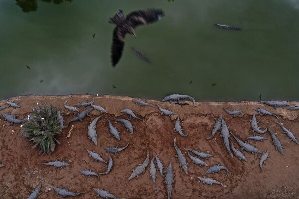 Decine di coccodrilli in una fattoria vicino all'insediamento israeliano di Petzael - Sputnik Italia