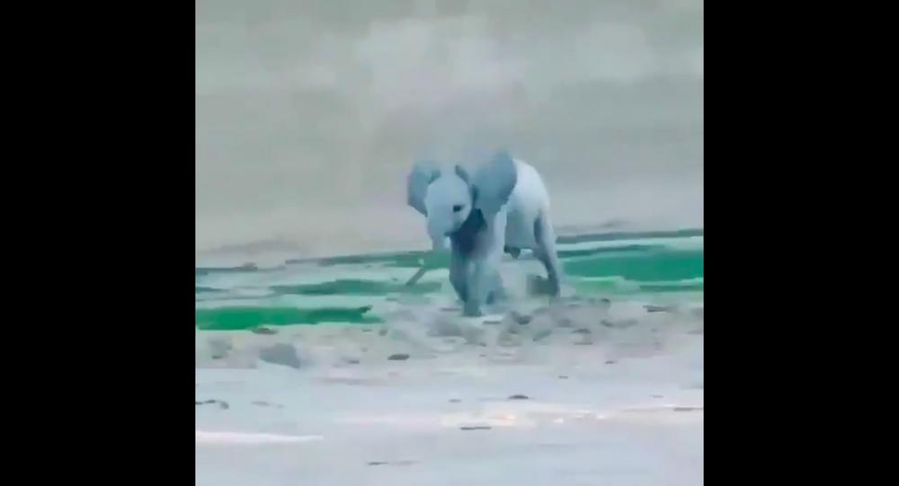 Piccolo di elefante