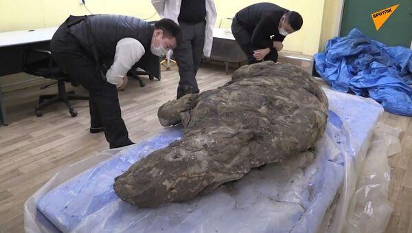 Russia: in Jacuzia trovati i resti di un rinoceronte lanoso vissuto tra 20.000 e 50.000 anni fa - Sputnik Italia