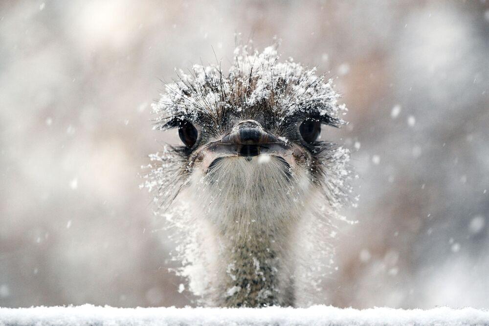 Uno struzzo dello zoo di Mosca si gode la neve