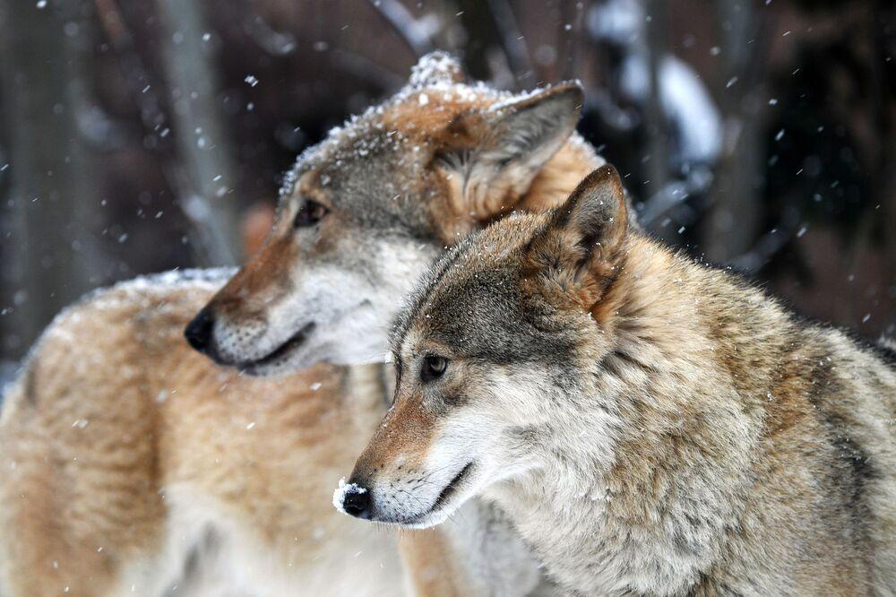I lupi grigi dello zoo di Mosca