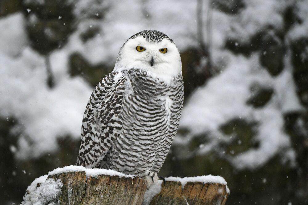 Un gufo delle nevi dello zoo di Mosca