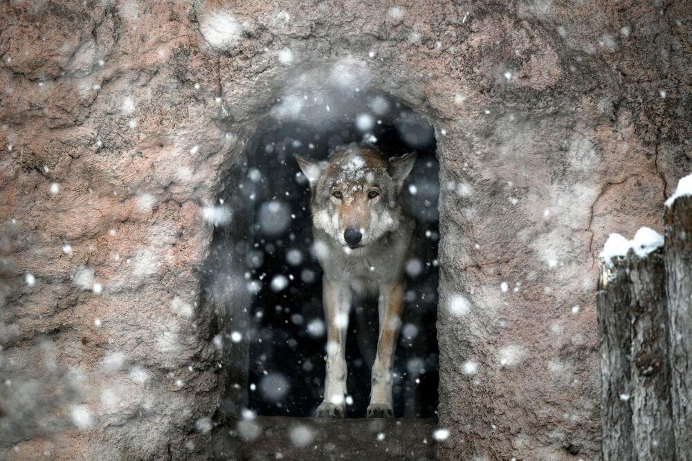 Un lupo sotto la neve allo zoo di Mosca