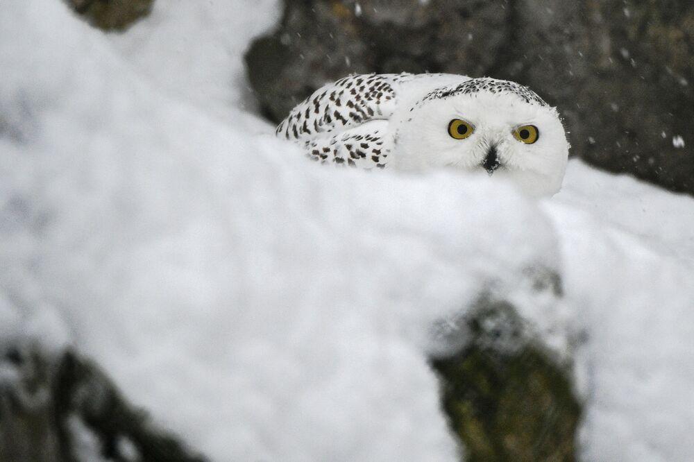 Un gufo delle nevi allo zoo di Mosca