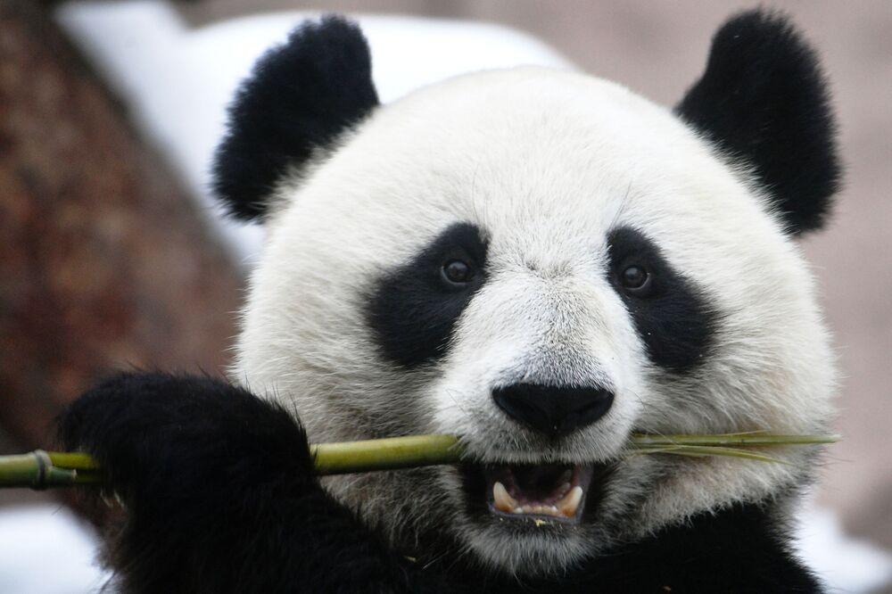 Un panda gigante dello zoo di Mosca