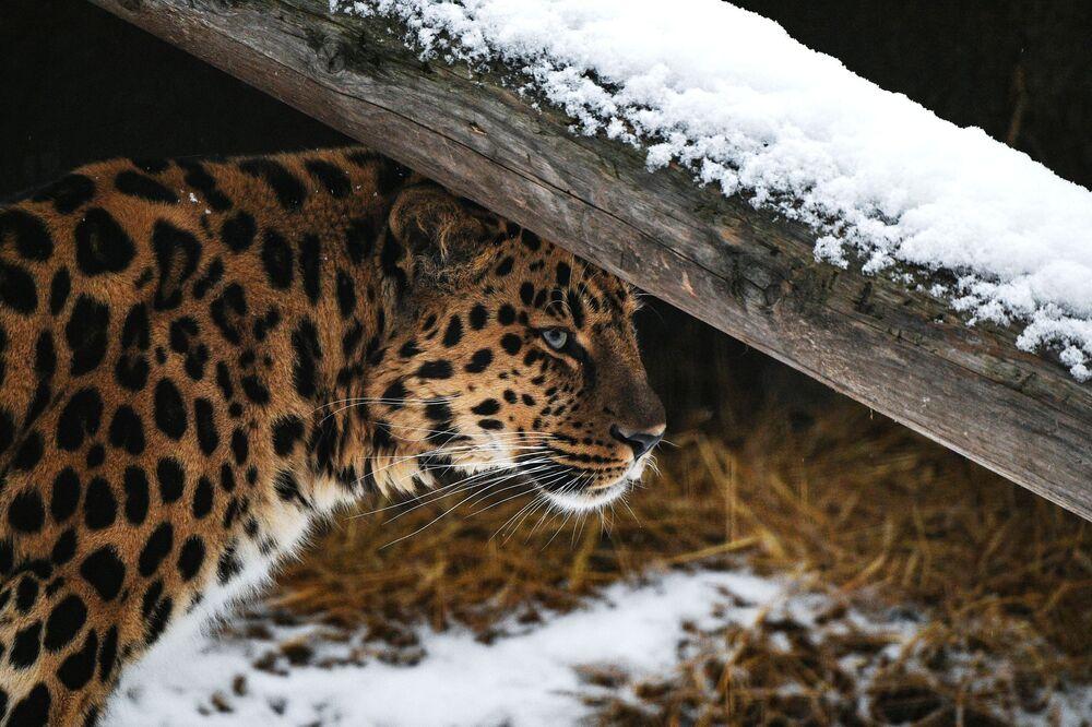 Un leopardo dell'Amur allo zoo di Mosca