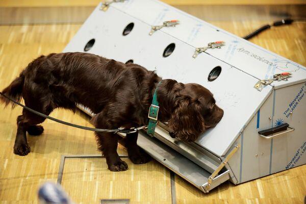 Il virus lascerebbe una propria firma sull'odore delle persone contagiate quindi, con uno specifico addestramento, i cani potrebbero essere in grado di scovare il Covid-19 - Sputnik Italia