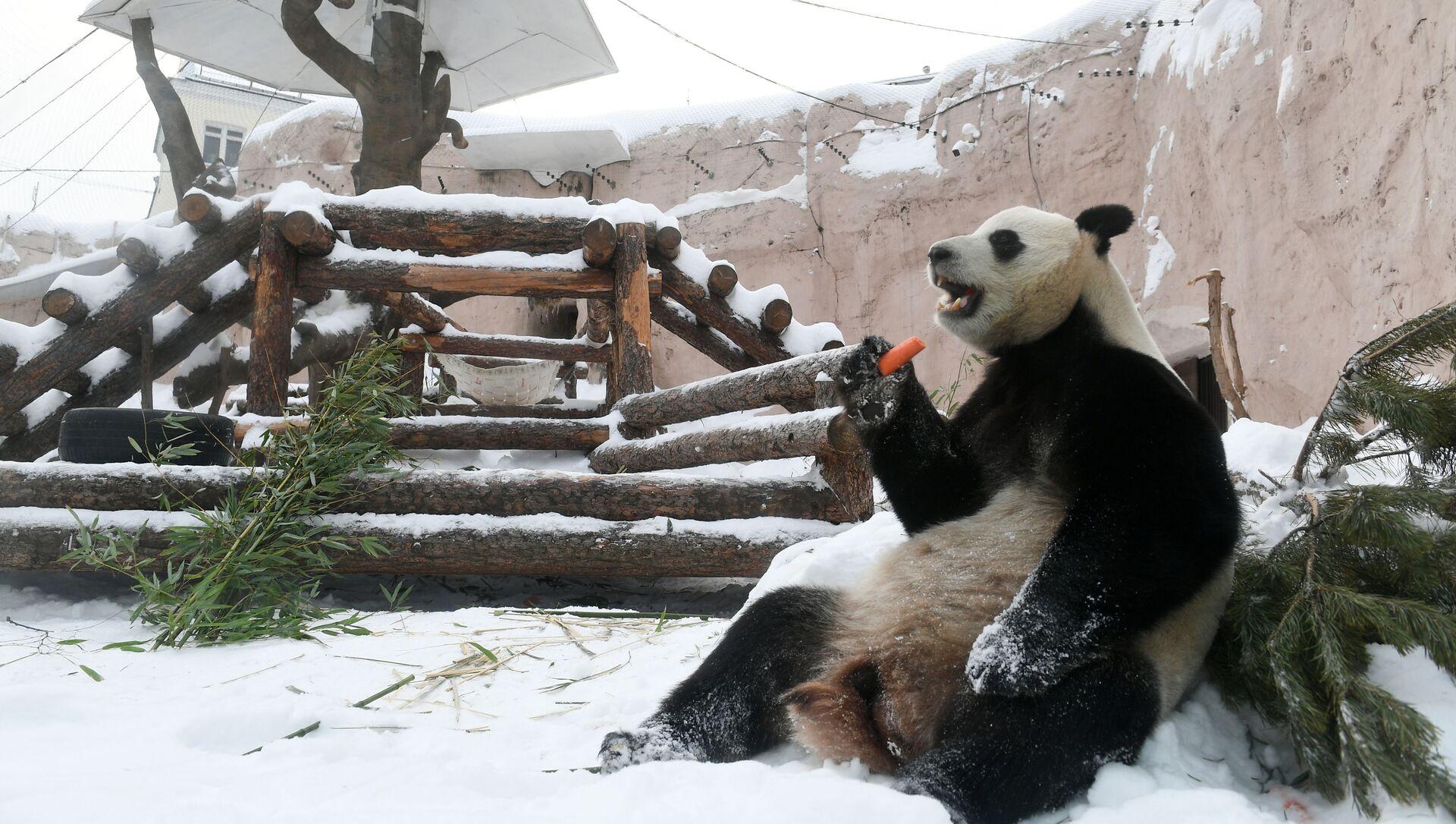 Panda gigante nello zoo di Mosca  - Sputnik Italia, 1920, 07.02.2021